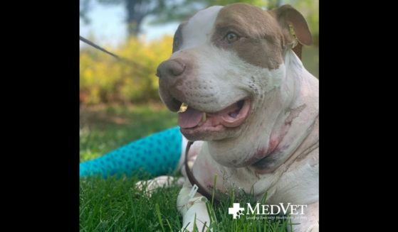 Kevin, the dog who was shot six times but survived, thanks to the police who found him and took him to MedVet Northern Virginia.
